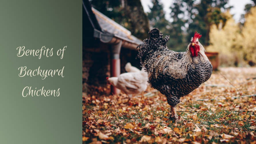 Benefits of Backyard Chickens Willow Farm LLC in Homer Michigan